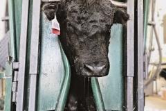 Bull-in-chute